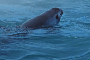 The Vaquita - smallest and most elusive whale on earth